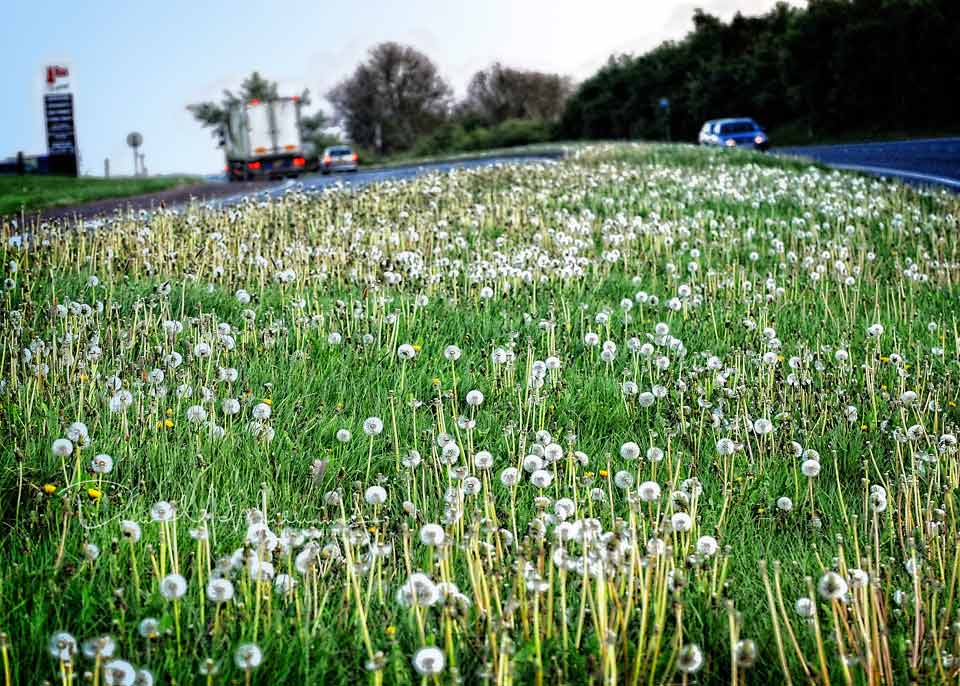 Dandelion clocks and weeds across the A1 carriageway outside Dromore